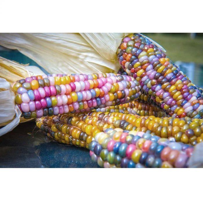 maiz-de-colores-bio-glass-gem