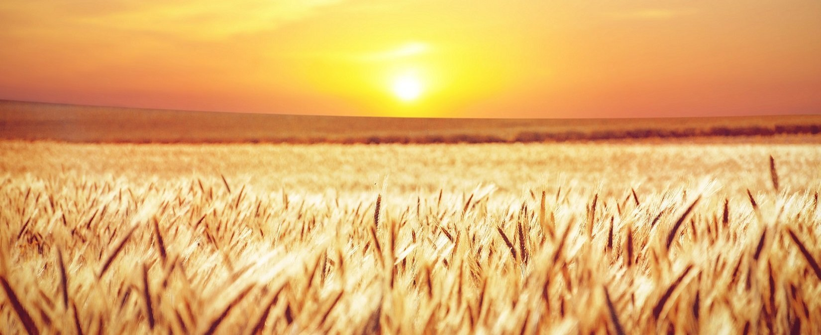 Campo de trigo puesta de sol